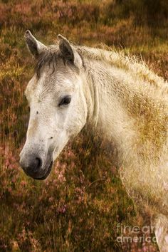 New Forest Pony Photograph  - New Forest Pony Fine Art Print