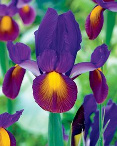 Iris, Purple Rain