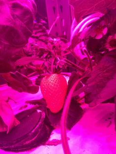 Feast your eyes on MIT CityFARM's first strawberry!