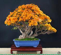 Orange Flower Azalea