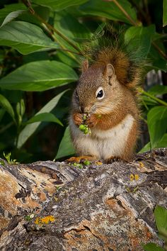 Red Squirrel ∞