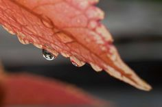 Red Leaf and Water Drop