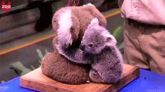 baby koala hugging a plush koala (gif)