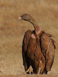 Griffon Vulture by jvverde, via Flickr
