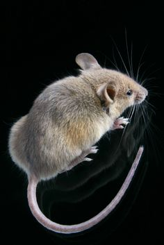Mice: How to get rid of mice fast like a farmer does :-)  Some familiar some not so familiar tips to get rid of rodents.   Peppermint oil works wonders - tried it in a barn infested w/rats - had to re-apply initially  but within a few months, our friends decided to call another place home.   If you want to try peppermint, purchase pure peppermint oil from your healthfood store - metal spay bottles if you choose or cotton balls will do.   We used both - spray closets etc and cotton in walls etc.