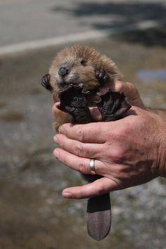 Baby Beaver <3