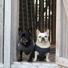 My #frenchies, Francesca & Sharkey, meet the newest additions to my farm family. Read more @ms_living. #marthastewartpets