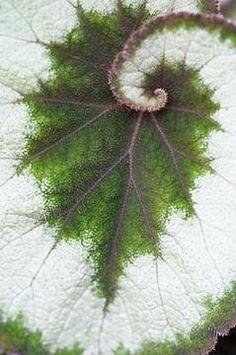 Leaf, exhibiting both fractal spiral & branching patterns