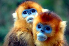 Golden monkey - love their little blue faces.