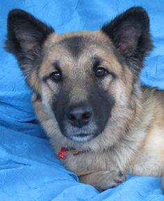 Piston Owen - German Shepherd Dog mix - Born: 3/19/2013 - Joyful Rescues - Lockport, NY. - http://www.joyfulrescues.org/dogs_4_adoption.html - https://www.facebook.com/joyfulrescues?fref=nf - https://www.petfinder.com/petdetail/29033196/