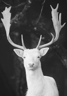✯ White deer hold a place in the mythology of many cultures. The Celtic people considered them to be messengers from the otherworld; it. The Celts believed that the white stag would appear when one was transgressing a taboo, such as when Pwyll tresspassed into Arawn's hunting grounds. Arthurian legend states that the creature has a perennial ability to evade capture; and that the pursuit of the animal represents mankind's spiritual quest.✯