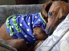 dachshund clothes, clair bear