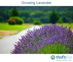 This guide is about growing lavender. This fragrant, hardy perennial shrub is a wonderful addition to any garden.