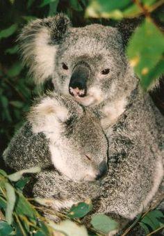 Learn to bellow like a Koala...great fun for kids! (Australia Theme)