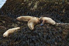 Sleeping Sea Lions - Kenai Fjords National Park