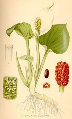 flower arrang, botanical illustration, botan illustr, botan print, flower prints, calla lili, botan beauti