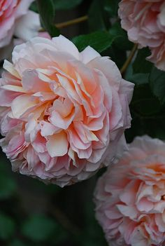 'Abraham Darby' roses