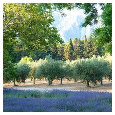 Olive Trees and lavender at Vicki Archer's.