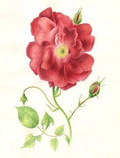 Amaryllis botanical prints, illustrations, botanical drawings, botan print, red roses, wild rose, botan unlimit, flower