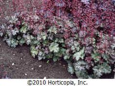 "Heuchera 'Smokey Rose'           Family: Saxifragaceae   (Saxifrage)            Alumroot, Coral Bells  	     Type: 	Perennial  Hardiness range: 	4A - 9A  Height: 	6"" to 18"" / 15cm to 45cm  Spread: 	12"" to 16"" / 30cm to 40cm  Growth rate: 	Average  Exposure: 	Partial shade or partial sun to full sun  Persistence: 	Evergreen  Bloom color: 	Pink  Bloom season: 	Late Spring to Early Fall  Leaf color: 	Green, purple, variegated  Fruit color: 	n/a  Water requirements: 	Moist  Soil pH requirements: ..."