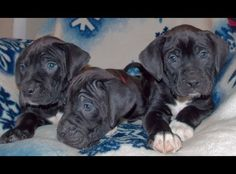 Boxador puppies for sale in Utah...so hard not to get them all! January 2013