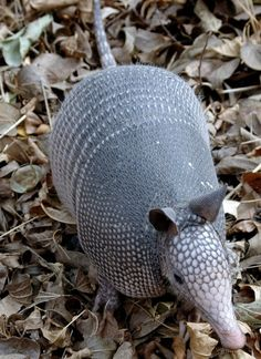 The nine-banded armadillo (Dasypus novemcinctus), or the nine-banded, long-nosed armadillo, is a medium-sized mammal. It is found in North, Central, and South America, making it the most widespread of the armadillos. Photo by Rich Anderson