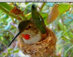 Meet Phoebe, an Allen's hummingbird who stars in one of the Internet's most popular nest cam sites. Phoebe captivates viewers around the world, with audiences watching her every move live on the web from the comfort of their own homes. - phoebeallens.com