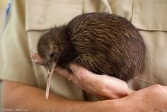 Holding a kiwi in New Zealand