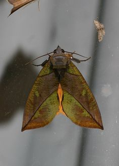 [][][] Eudocima sp. (Noctuidae, Catocalinae) by yakovlev.alexey, via Flickr. Malaysia. Fraser's Hill.