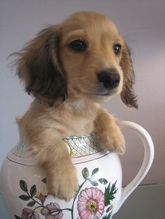 Fabio the long-haired English cream mini-dachshund by pondfield, via Flickr