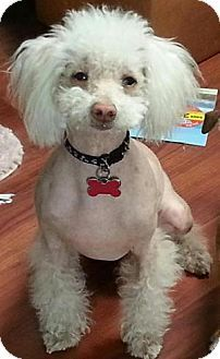 Rescue dog labeled as a Bichon Frise/Chinese Crested Mix but it looks more like a Poodle/Chinese Crested mix to me.