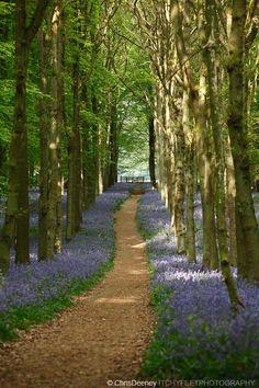 Woodland path in bluebell wood, England, UK