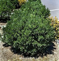 compact inkberry holly...likes wet...grows 2-4' and same wide
