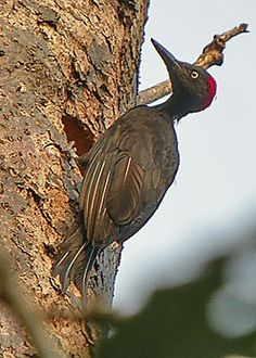Andaman Woodpecker (Dave Farrow)