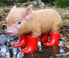 little pigs, red boots, teacup pigs