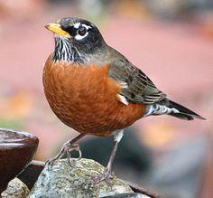 American Robin,  3/9/2013,  Lake Sacajawea, Longview, WA