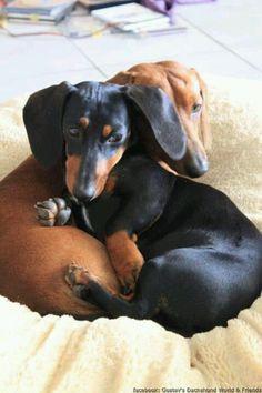 anim, sausage dogs, cuddle buddy, dachshunds, baby dogs, puppi, weiner dogs, wiener dogs, friend
