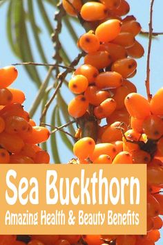 The amazing health and beauty benefits of Sea Buckthorn