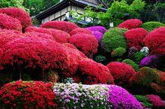 Rhododendron Garden - Japan