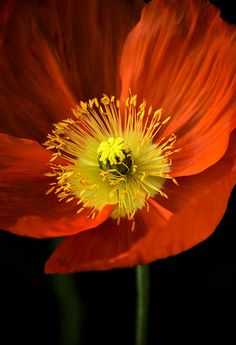 Poppy at Dusk - by Deb Halloran