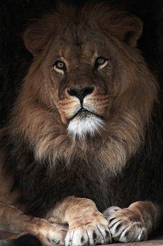 Beautiful Lion - Awesome Photo