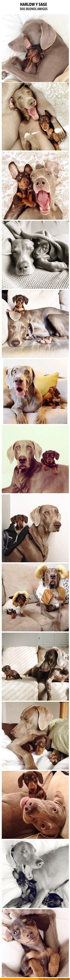 Best friends- a Dachshund and a Weimaraner