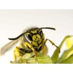 how to kill wasps with household products