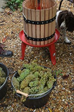 Micro production of Chenin Blanc with a little helper