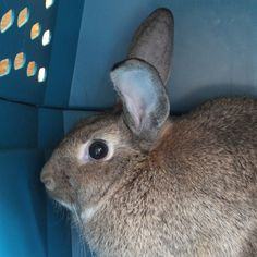 Brownie is a four-month-old rabbit who encompasses everything we love about these small animals: he's soft, social and totally trainable – yes, he uses the litter box! Click to learn more about Brownie. #PetAdoption #Rabbit