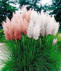 pink & white pampas grass mixed