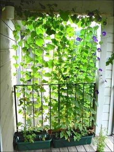 13 Attractive Ways To Add Privacy To Your Yard  Deck (With lots of pictures and resources) privacy screens, morning glories, morning glory vine, privacy vine, add privaci, backyard plant ideas, 13 attract, morn glori, deck garden boxes