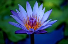 blue lotus: the most beautiful flower I've ever seen