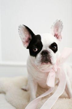 French bulldog cutie