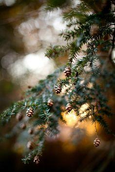 pines, holiday, christmas time, christmas colors, season, nature, winter trees, tree branches, christmas trees